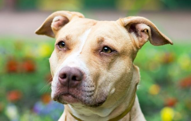 local-records-office-pit-bull-dogs-pets-animal